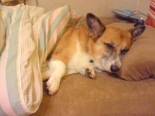 寝るコギさん~01.jpg