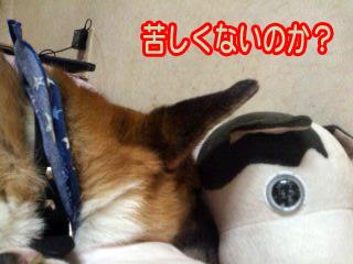 田中さんのに刺さるコギさん002~01.jpg